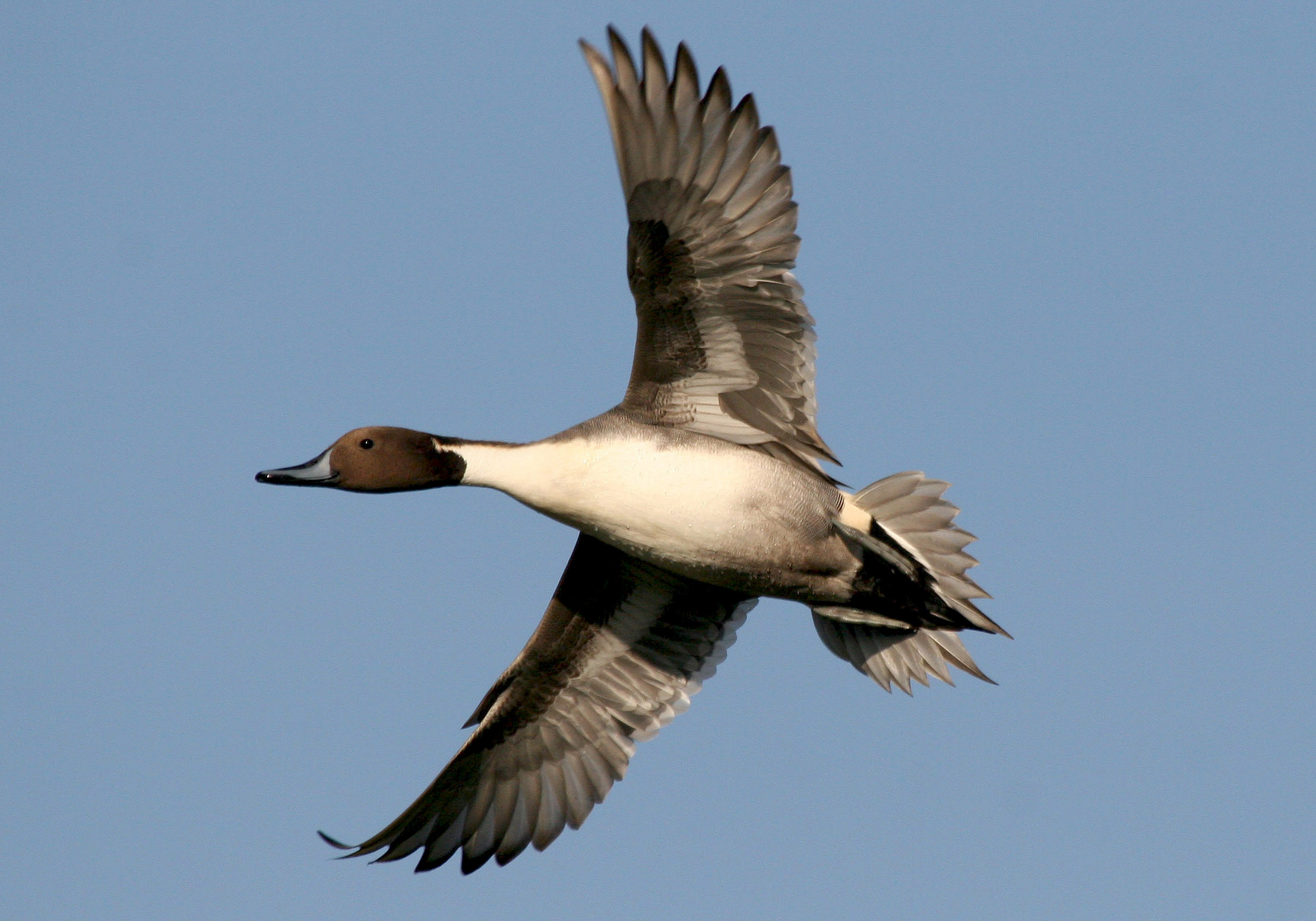 North American Pintail Duck Flying Pictures to Pin on ...