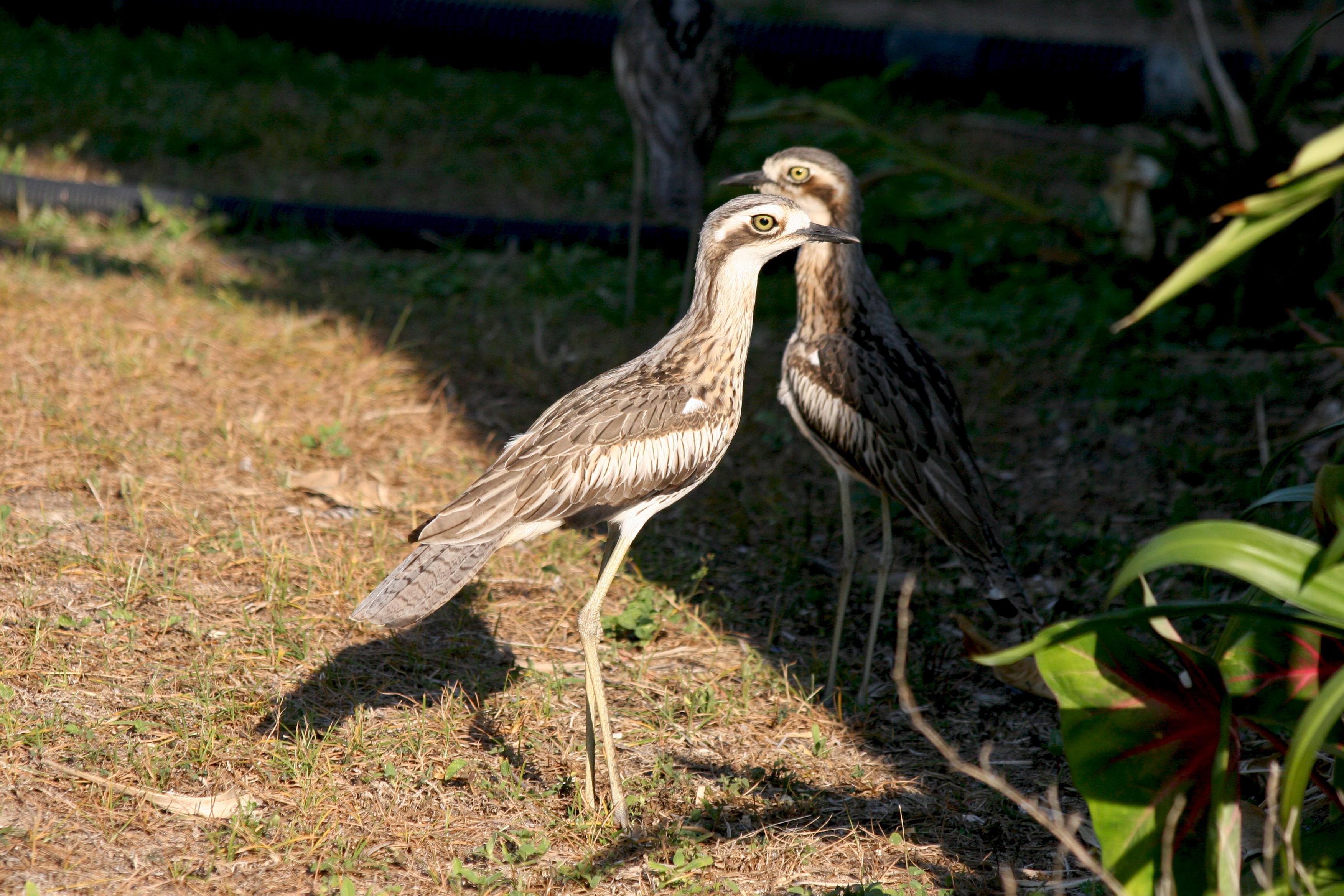 Sexual dimorphism birds