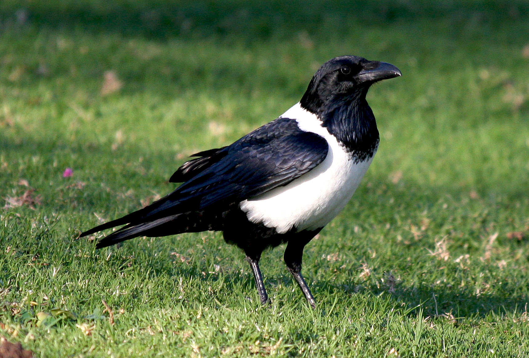 birds crows africa south breast bill avise called 2007