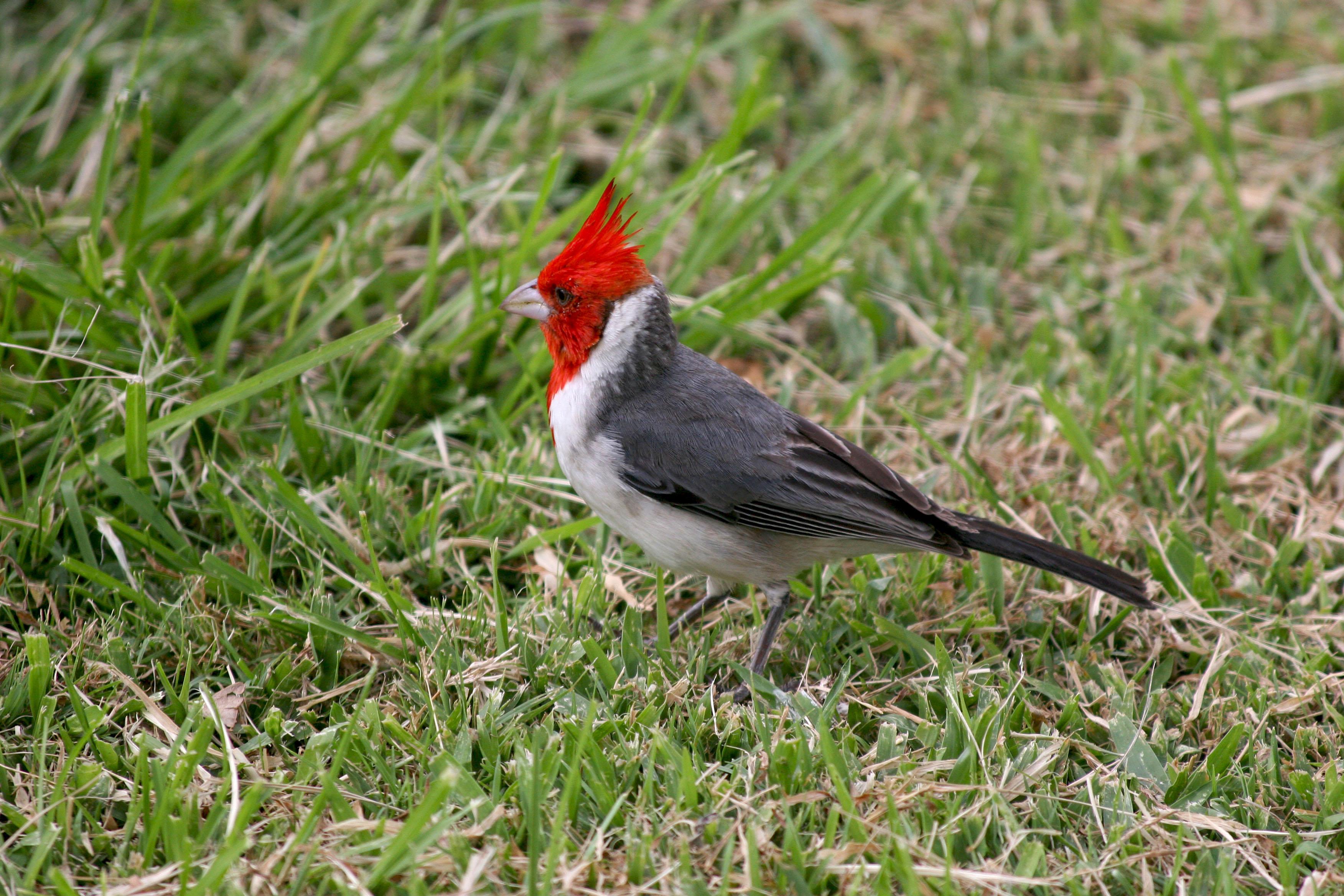Red Hawaiian Bird Hawaii Bird With Red Head