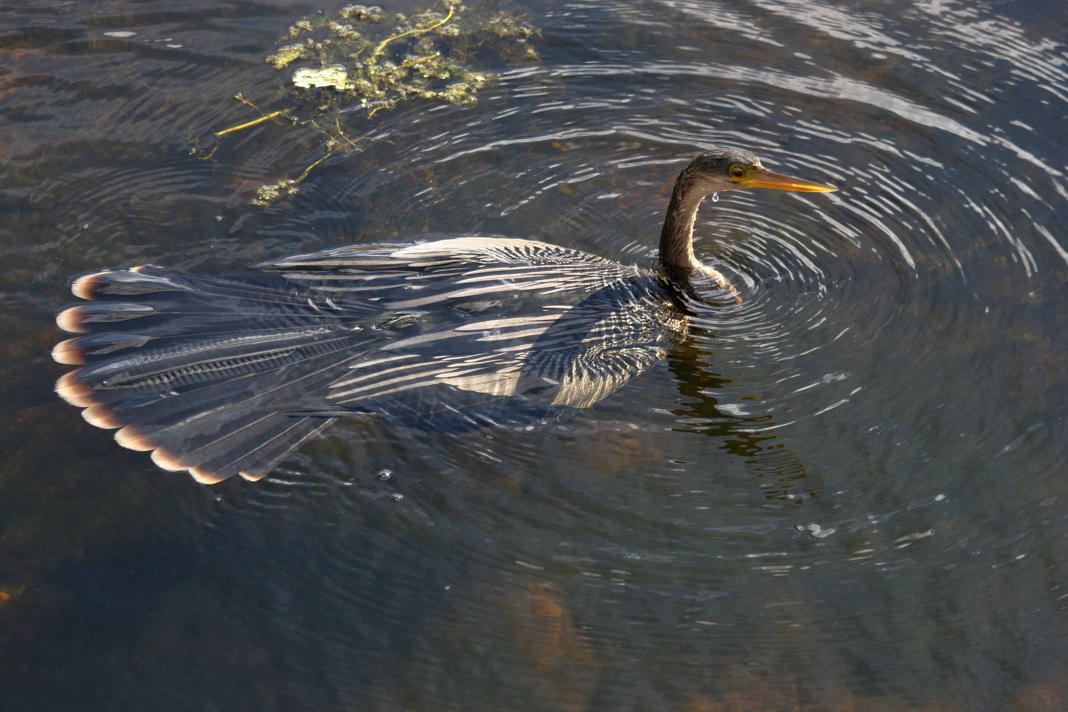 Anhinga (Anhinga anhinga) Female swimming. (With images ...